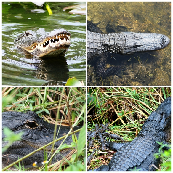 Gators Collage